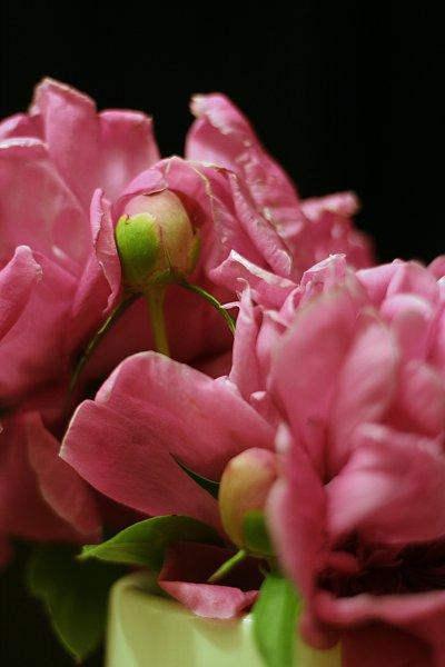 lush pink peony